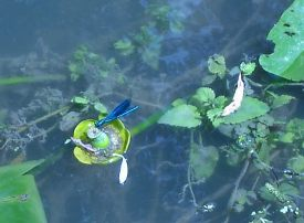 libellules et insectes d'eau