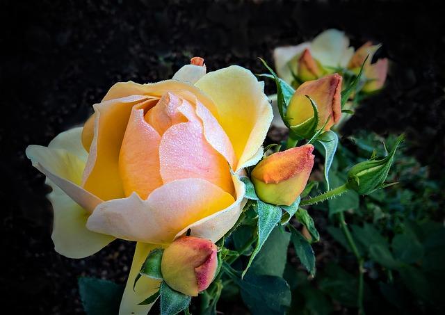 roses par monika schroder pixabay