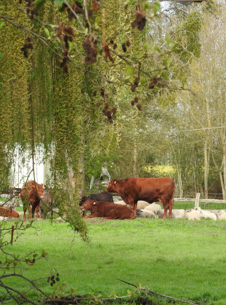 Troupeaux de vaches angus